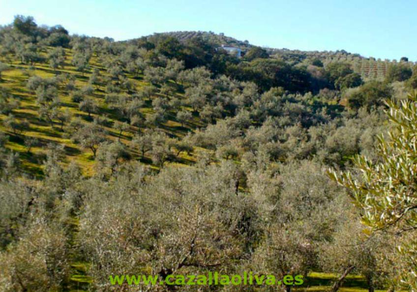 olivar de cazalla de la sierra