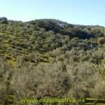 olivar de sierra