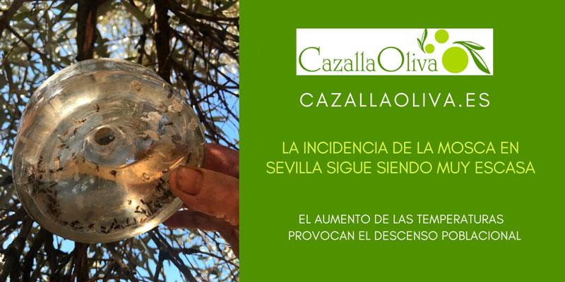 la incidencia de la mosca en el olivar sevillano